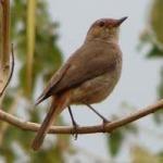 Familiar Chat Bird