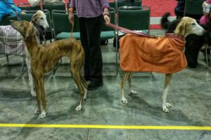 Two Greyhounds with their back facing each other