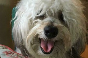 White Cavachon dog smiling