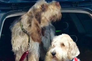 White and light brown Terriers sitting in the back of an open trunk