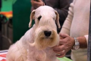 White Sealyham terrier sitting near a person wearing a cream-colored sweater