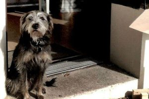 Black-and-brown Terrier sitting with its head up high near an open door