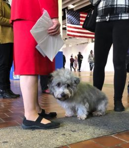Fluffy grey Terrier shying away from people and nearing its handler who is dressed in a red suit dress