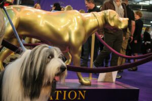A Bearded Collie posing with a golden statue of a dog