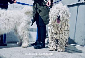 White Komondor standing next to its handler