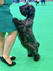 Kerry Blue Terrier standing on its hind legs to place its front paws on its female handler's bended knee