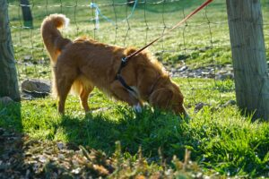 Golden Retriever sniffing and digging at the ground