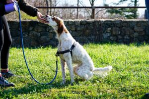 Tall, brown-and-white dog taking a treat from its handler's hand