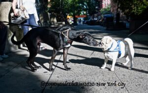 A black Greyhound sniffing the snout of a white French Bulldog