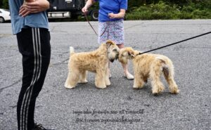 Two light-brown Terriers sniffing each other in the middle of the road
