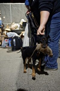 Black Doberman Pinscher holding a dead rat in its mouth while its handler adjusts the dog leash