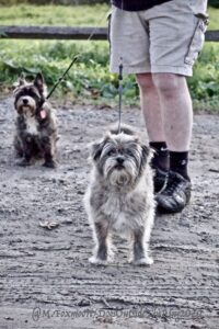 Two Terriers near each other in a muddy field