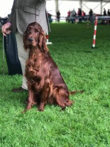 : Long-haired, brown Irish Setter sitting tall on a grass field next to its handler