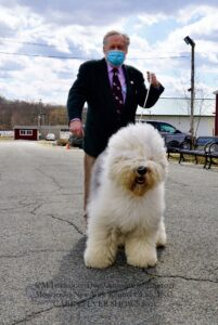 White Old English Sheepdog with its male handler who is dressed in a suit