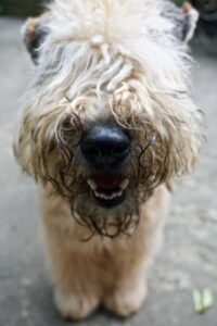Curly-haired, white Terrier with its fur covering its eyes
