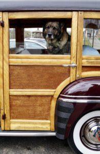 Black German Shepherd dog framed by the open window of an antique car