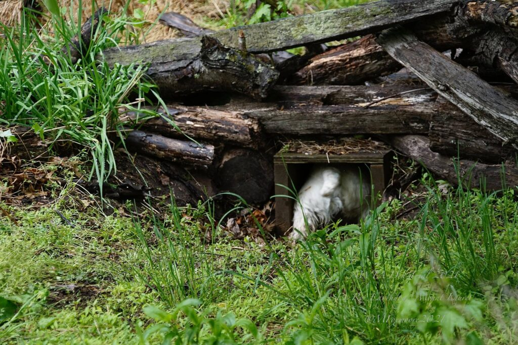 Butt of a fluffy white dog sticking out of a pile of logs