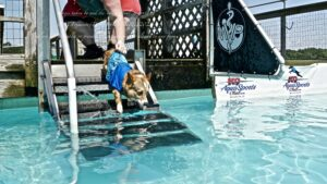 Corgi in a blue shirt running down pool stairs and into a pool