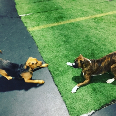 Boxer playing during doggy daycare at Homedog Resort located in downtown Columbus, Ohio's Brewery District