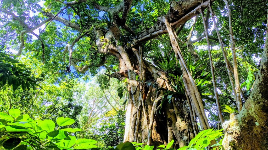 Ovava Tree