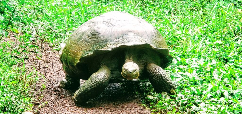 Galapagos giant tortoises are plentiful at the El Chato reserve and are a delight on any budget