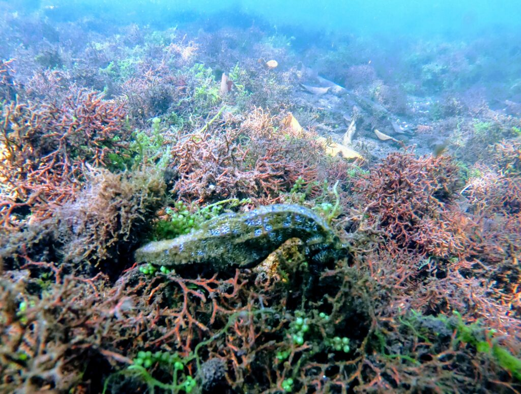 Galapagos Seahorse is on a budget as it is free in the ocean