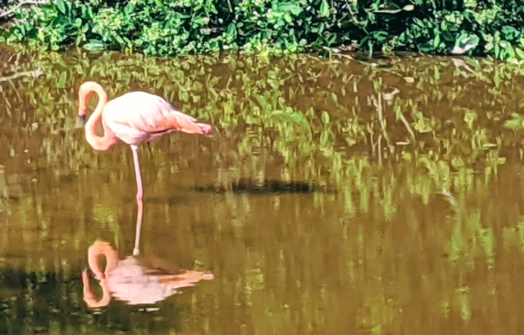 Galapagos Pink Flamingos are always on a budget since they are free to see