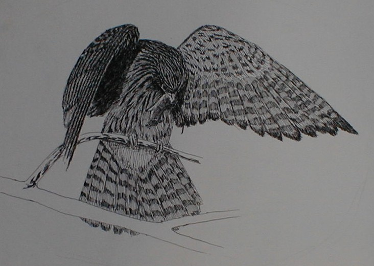 Pen and ink sketch of Hawk with mouse