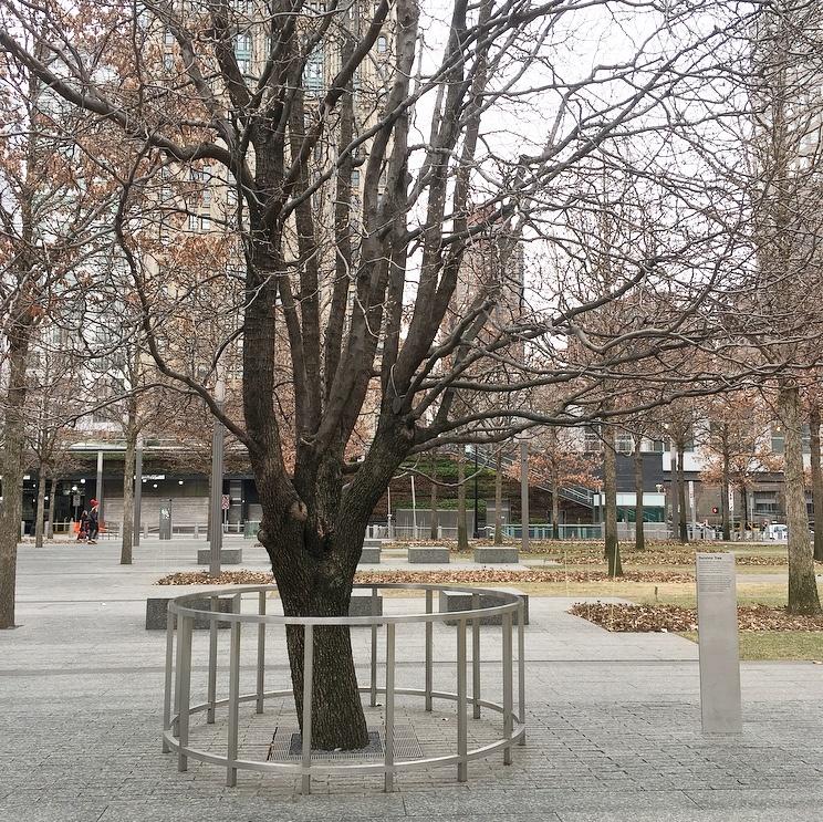 The 9/11 Memorial and Museum Survivor Tree
