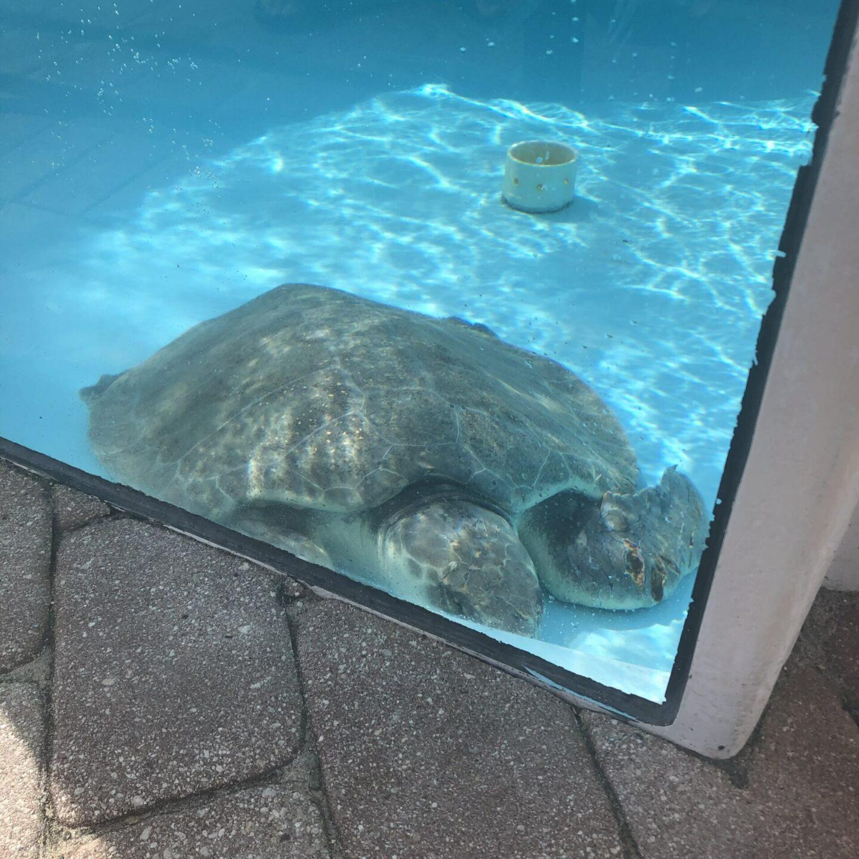 Loggerhead Marinelife Center - Loggerhead Sea Turtle