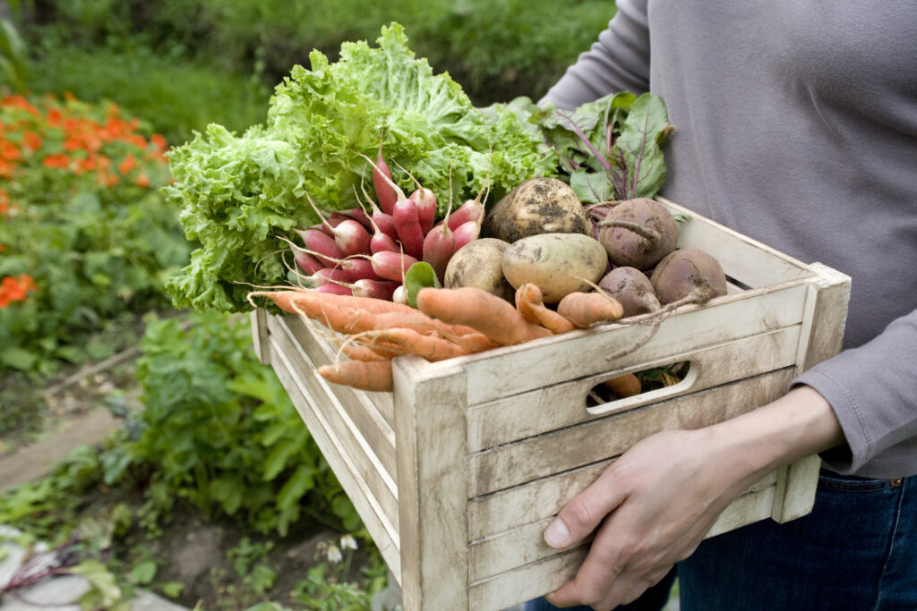 Midsection of woman carrying crate with freshly harvested vegetables
