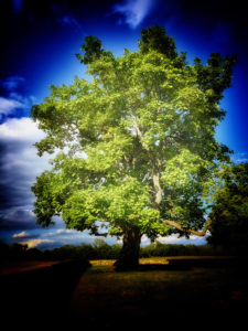 Tree at the Antietam Graveyard