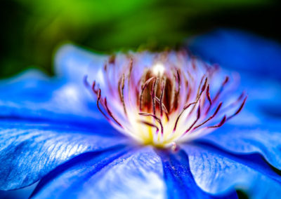 azul clematis
