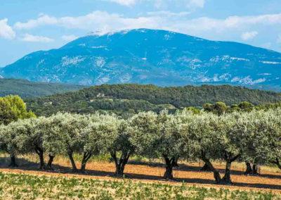 olives under the ventour