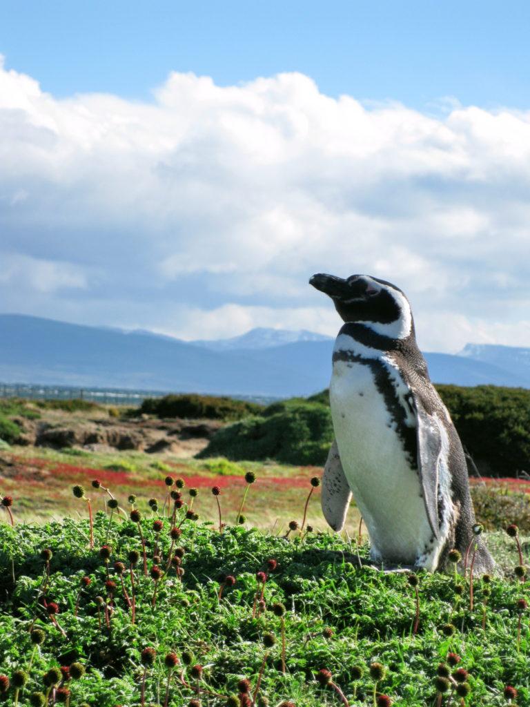 Penguins at Otway Sound
