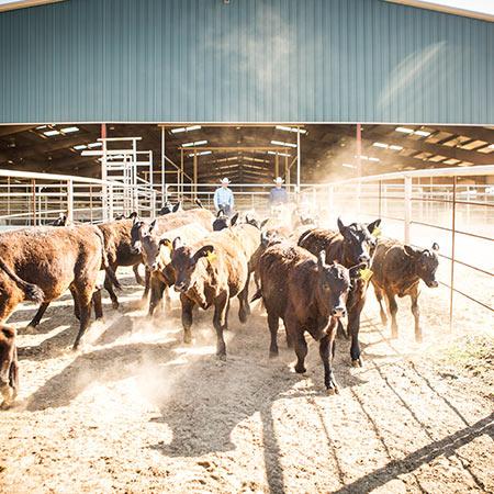 arena-cows