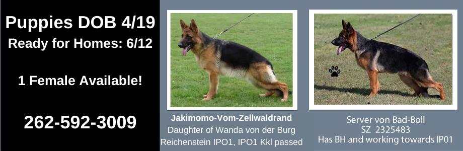 1 Female German Shepherd Puppy For Sale