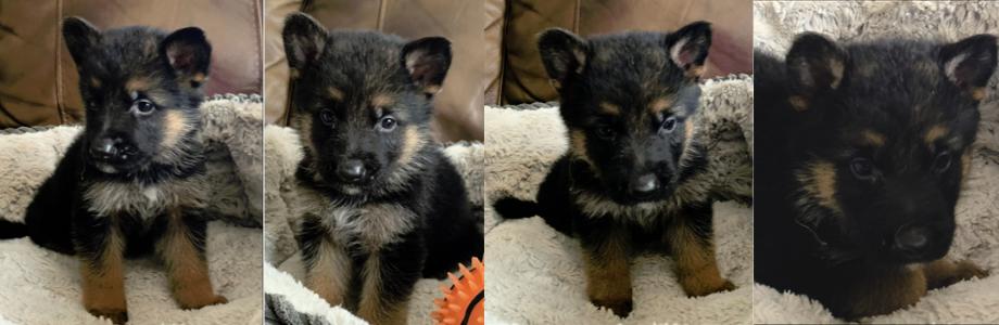 German Shepherd Puppies For Sale IL Summer 2021