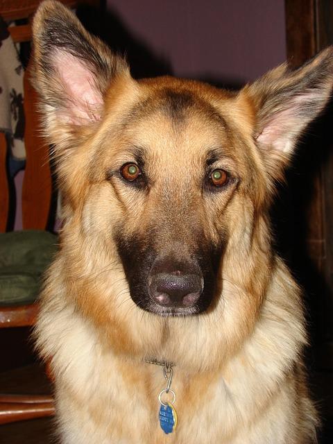 Breed Dog Pet Canine German Shepherd Animal