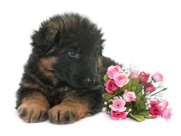 Pure German Shepherd Puppies GSD Puppy Pedigree