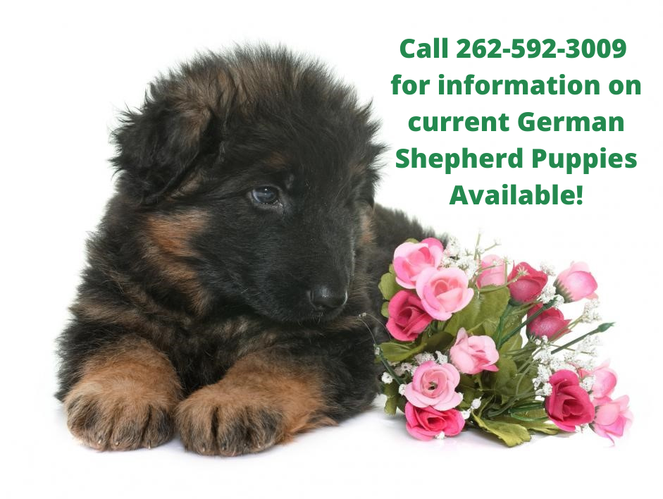 German Shepherd Puppy For Sale Chicago IL