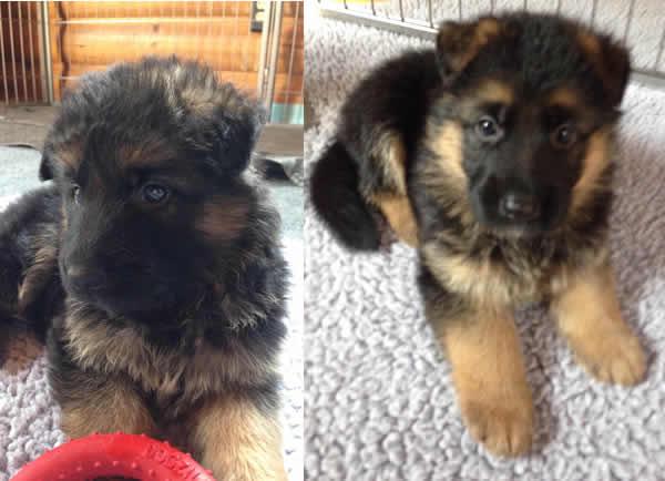 German-Shepherd-Puppies-For-Sale-Chicago-072215