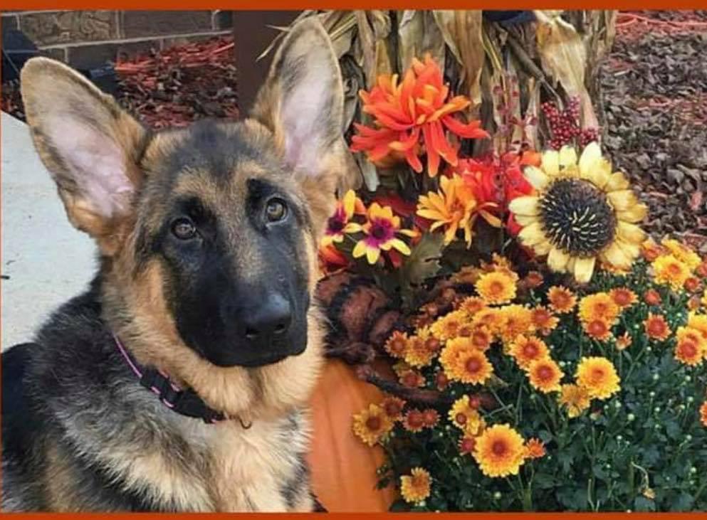 German Shepherd Puppies For Sale Chicago area
