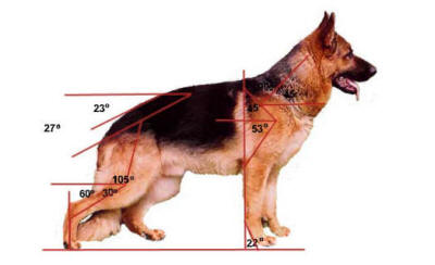 German Shepherd Anatomy