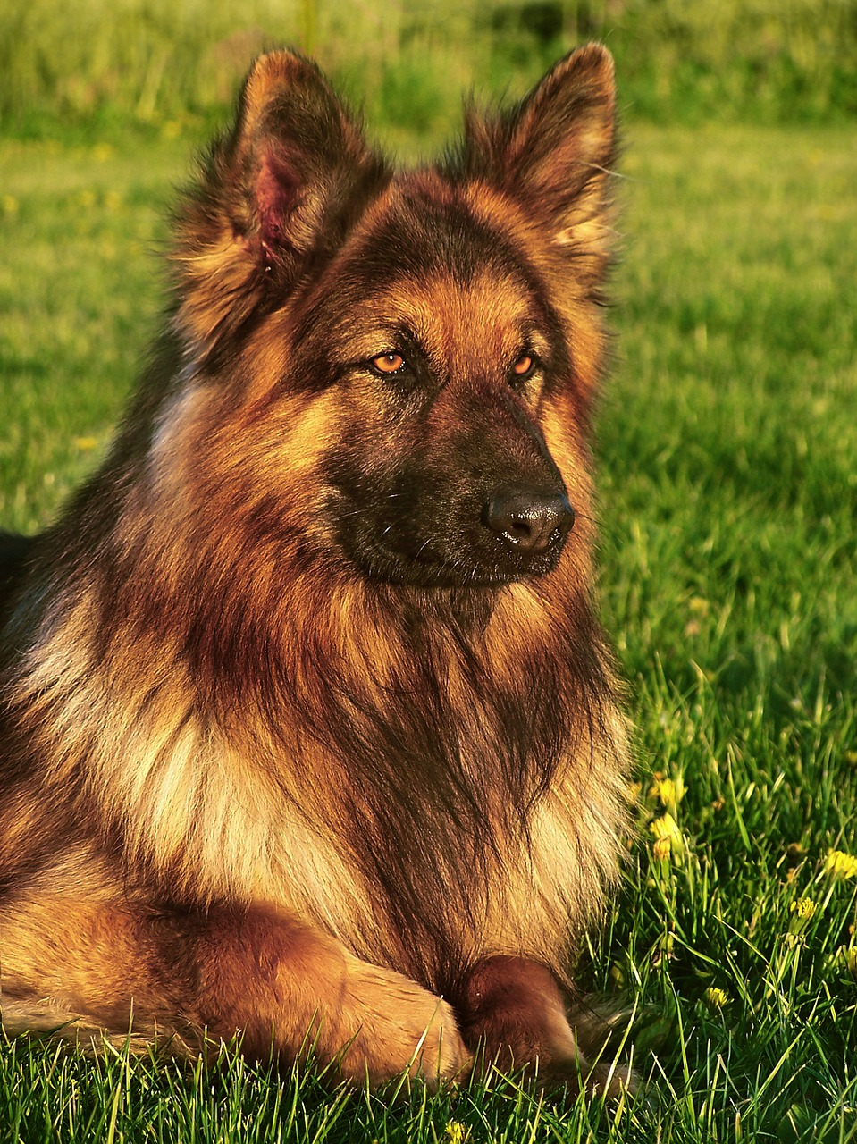Wrong Genes Gone Right Long Haired German Shepherd Puppies