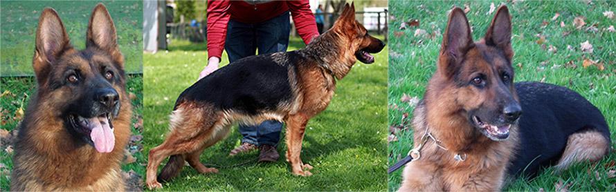 Black and Red German Shepherd Puppies, German Shepherd Breeders, German Shepherd Police Dog Puppies, German Shepherd Breeding Female,German Shepherd Long Hair Puppies, German Shepherd Puppies