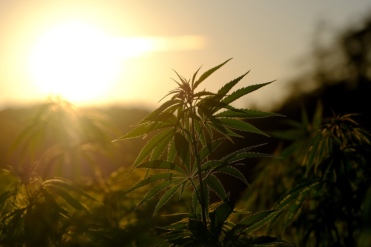 hemp, plant, cannabis-5375748.jpg