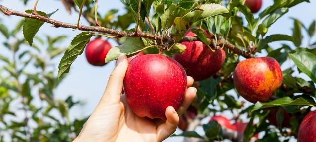 Fruit of a tree yielding seed