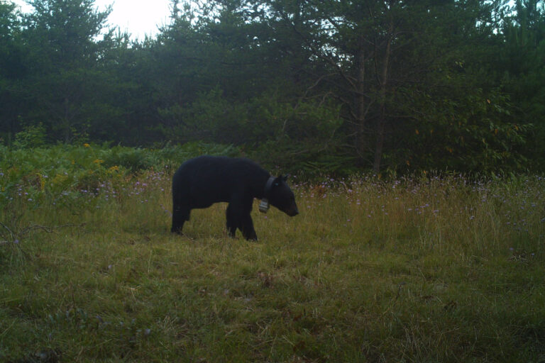 Resource selection by recolonizing American black bears in a fragmented forest landscape