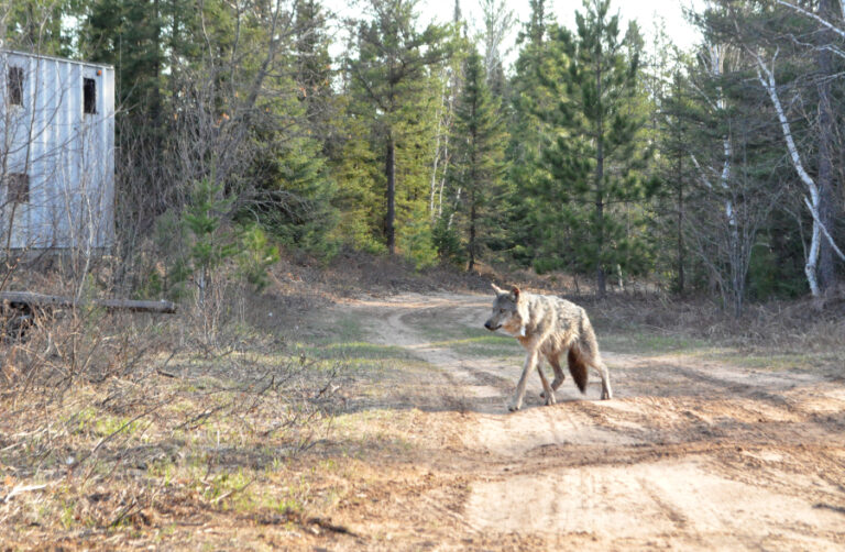 Large carnivore response to human road use suggests a landscape of coexistence